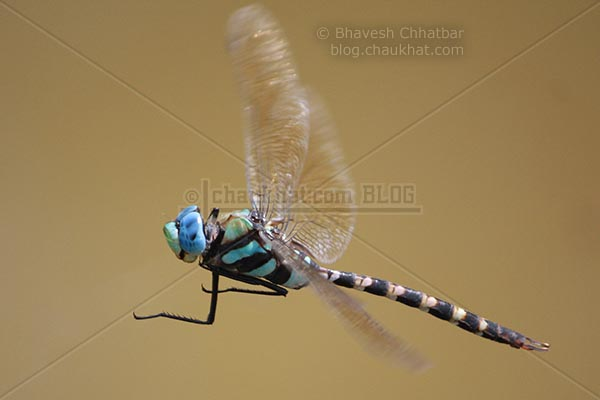 Ground Skimmer [Diplacodes Trivialis] - Calling for a fight